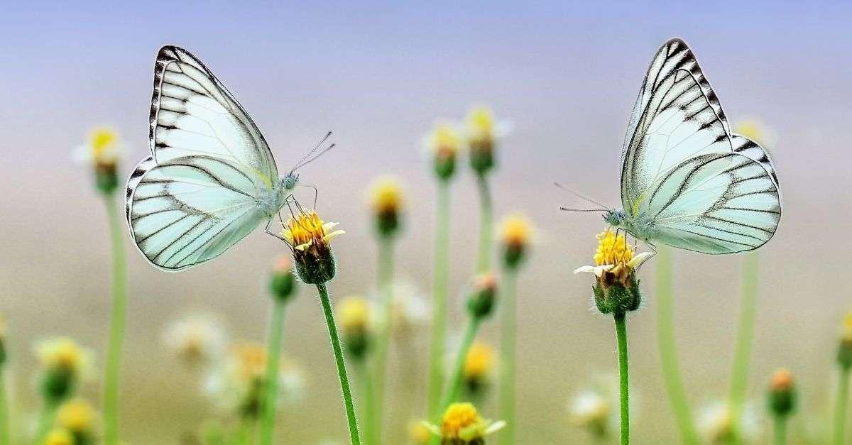 deux papillons, l'un face à l'autre, posés sur les burgeons de pisse-en-lits